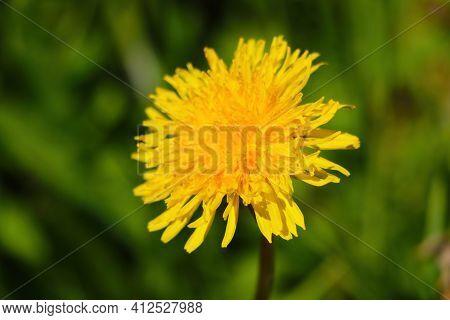 Beautiful Yellow Blooming Dandelion In The Field