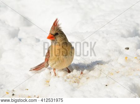 Beautiful female Northern Cardinal on snow, looking for seeds to eat, on a sunny winter day; with copy space