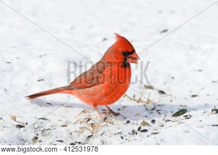Brilliant red male Northern Cardinal in snow, eating sunflower seeds, on a sunny winter day