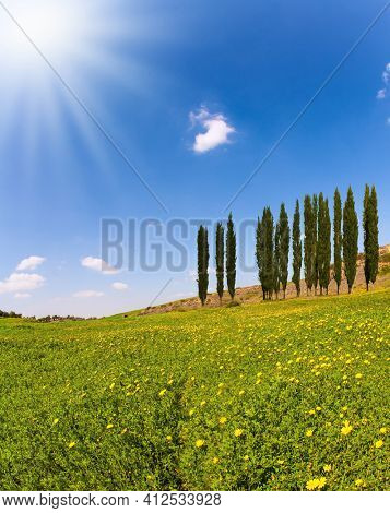 Israel. Fields of flowers in the bright southern sun. Lovely warm day. Walk in the blooming Negev desert on the outskirts of the southern city. Desert acacias and cypresses