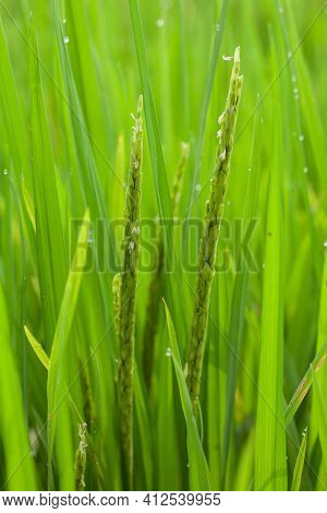 A Verdant Ear Of Rice That Has Begun To Bloom With White Blossoms And Dew On The Tips Of The Rice Fi