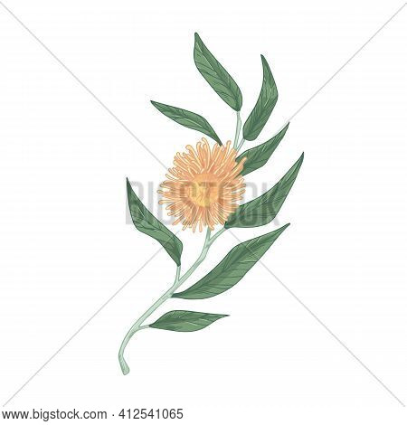 Blooming Eucalyptus Flower With Lush Yellow Petals Isolated On White Background. Hand-drawn Floral E