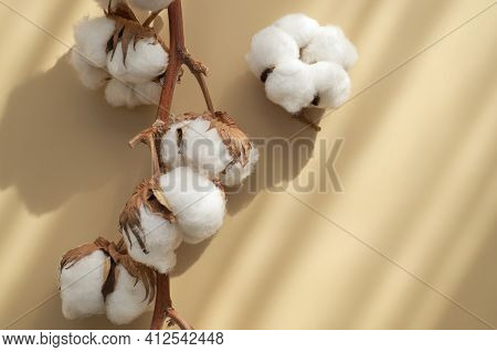Branch With White Cotton Flowers With Sun Shadows On Beige Background Flat Lay. Delicate Light Beaut