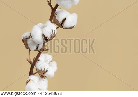 Branch With White Fluffy Cotton Flowers On Beige Background Flat Lay. Delicate Light Beauty Cotton B