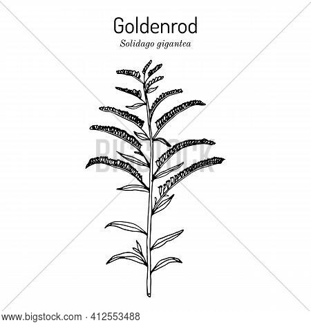 Goldenrod Solidago Gigantea , State Flower Of Kentucky And Nebraska, Medicinal Plant. Hand Drawn Bot