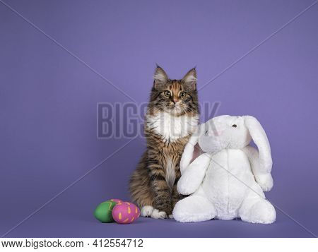 Cute Tortie Polydactyle Maine Coon Cat, Sitting Up Inbetween Painted Easter Eggs, And Toy Bunny. Loo