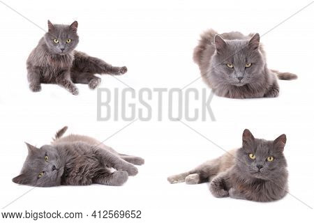 Collage Of Beautiful Grey Cat Isolated On White. Set Of Cat In Different Poses. Top View