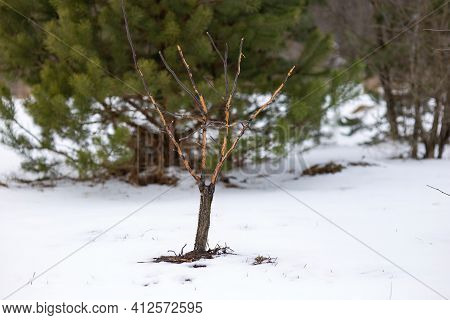 Fruit Tree Seedling Damaged By Hares. A Young Apple Tree In A Winter Snow-covered Garden With Bark N