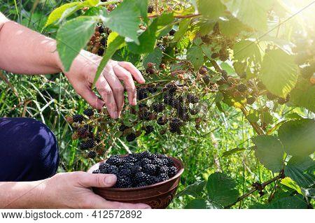 Harvesting Ripe Blackberries. Women's Hands Pick Berries In The Garden. Selective Focus. Close-up.