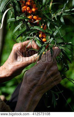 Woman Farmer Harvests Sea Buckthorn In The Garden. Hands Of An Elderly Woman Close-up. Vertical Crop