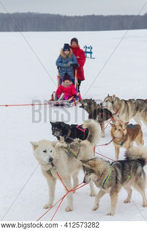Sled Dogs Huskies Are Harnessed To A Sleigh In Winter For A Trip Through The Snow