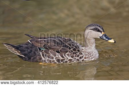 A Close Up Of A Indian Spot-billed Duck, Anas Poecilorhyncha