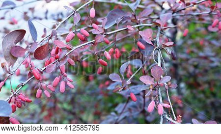 Sprigs Of A Barberry Bush Close-up On A Blurred Background Of A City Park, An Urban Bush With Beard-