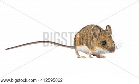 Beautiful Wood Mouse (apodemus Sylvaticus) Isolated On White Background. This Cute Looking Mouse Is