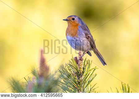 Red Robin (erithacus Rubecula) Bird Foraging In An Ecological Garden On Bright Background. This Bird