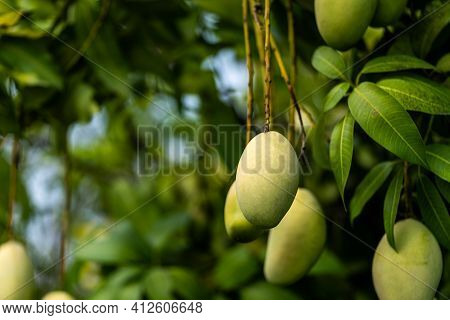 A Bunch Of Mango With Blur Leaf Background. Young Mango.
