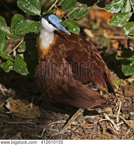 View Of An African Jacana, Actophilornis Africanus Relaxing