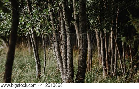 Dark Mystical Summer Forest With Spruce And Pine And Green Foliage. Late Summer Day. Summer Landscap