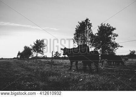 Black Angus Cows Graze In Silhouette Against The Sunset Sky. With Electric Fence Fencing And Tree Si