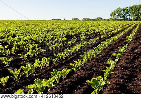 Straight Rows Of Sugar Beets In Perspective On An Agricultural Field. Young Shoots Of Sugar Beet, Il