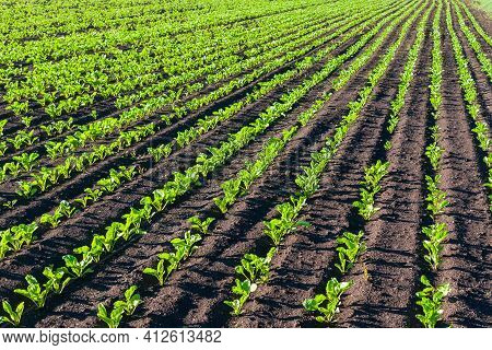 Sugar Beet Cultivation. Tidy Rows Of Sugar Beets In Perspective On An Agricultural Field.
