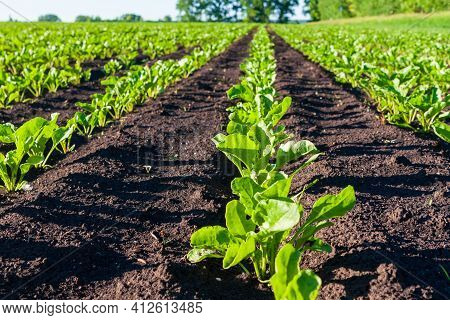 Sugar Beet Cultivation. Close-up Of Neat Rows Of Sugar Beets.