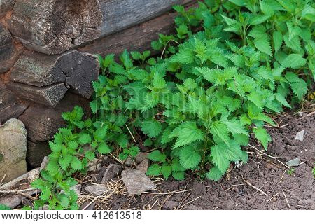 Urtica Dioica, Common Nettle, Stinging Nettle. Dense Thickets Of Nettles Under A Wooden House.