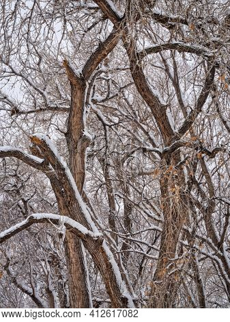 trees along the Poudre River in Fort Collins in heavy snowstorm