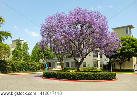 FULLERTON CALIFORNIA - 23 MAY 2020: Jacaranda Tree in bloom at the Student Housing area of California State University Fullerton, CSUF.