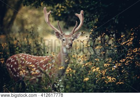 Whitetail Deer Standing In Autumn Wood, Forest