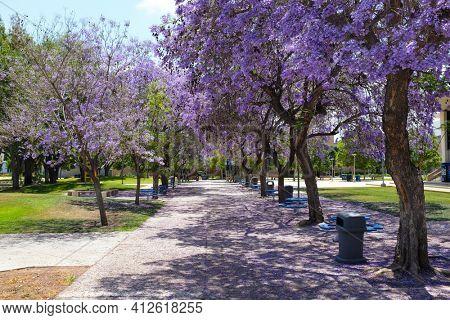 FULLERTON CALIFORNIA - 23 MAY 2020: Jacaranda trees in full bloom line a walkway on the capmus of California State University Fullerton, CSUF.
