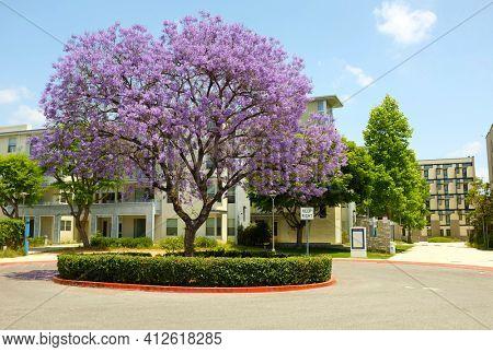FULLERTON CALIFORNIA - 23 MAY 2020: Student Housing on the Campus of California State University Fullerton, and Jacaranda Tree.