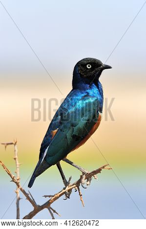 Colourful Bird Superb Starling Sits On A Branch