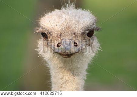 Ostrich head portrait closeup frontal