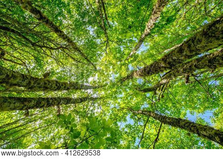 Trees Upward Nadir View To Height In Forest, Growth Progress Nature Concept