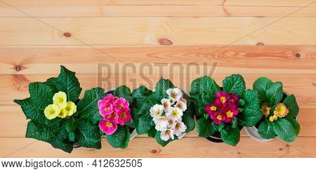Colorful Primula Flowers In A Row On Wooden Background. Spring Easter Background. Top View, Copy Spa