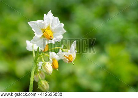 Blossoming Potato Plant On Farm Field On Bright Sunlight, White Flower Of Potato Vegetetable On Blur
