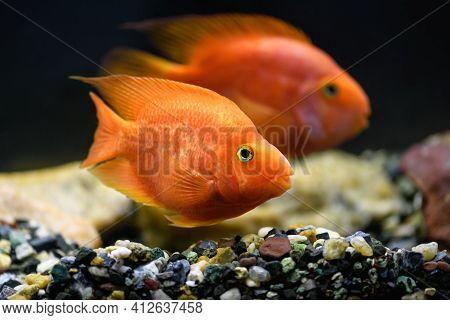 Orange Parrot Fish In The Aquarium. (red Parrot Cichlid)