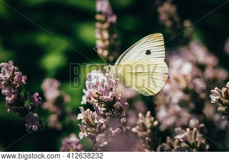White Butterfly Sitting On A Pink Plant With A Green Background In The Czech Nature. Detail Of A Ver
