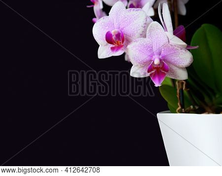Close-up Pink Spotted Orchid,green Leaves In White Pot On Side,dark Background.beautiful Flower,tren