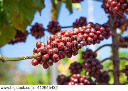 Organic Coffee Seed On Tree Branch
