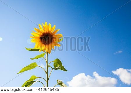 Beautiful yellow sunflower and blue sky with clouds