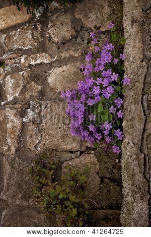 Campanula violets,Italian Architecture - Umbria
