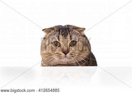 A Brown Scottish Fold Cat With Yellow Eyes Peeping Out From Behind A White Table. The Cat Peered Cur