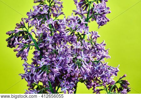 Small, Blooming Lilac Flowers In Spring On A Yellow Background