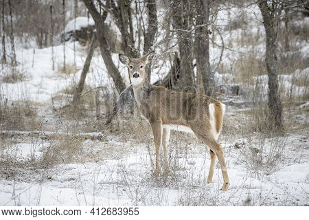 A White Tailed Deer Stands In A Snowy Field In Ione, Washington.