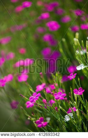 Background Of Wild Carnations. Blooming Wild Carnation Close-up, Photographed In The Summer In The P
