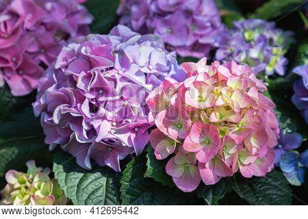 Hydenyia Flower. Flower In Garden. Flower At Spring Day. Colorful Flower. Flower Decoration. Flower