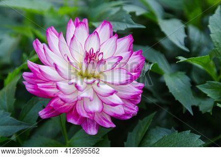 Dahlia Flower. Flower In Garden. Flower At Spring Day. Colorful Flower. Flower Decoration. Flower Fo