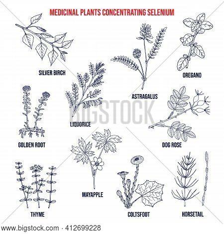 Collection Of Medicinal Plants Concentrating Selenium. Hand Drawn Vector Set Of Medicinal Herbs